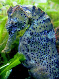 seahorse longsnout Стоковые Фотографии RF