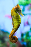 Seahorse. Marine animals and amphibians. The underwater world. The marine life. The ocean and the beauty under water Stock Photo