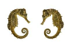 Seahorse nad białym tłem Zdjęcie Royalty Free