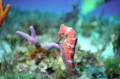 Seahorse off cozumel Stock Photography