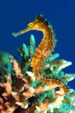 Seahorse. This is a seahorse, in the Red Sea, Egypt stock image