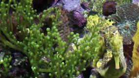 Seahorse Rybi zwierzę zbiory
