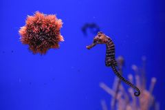 Sea urchin and seahorse in the foreground. stock photos