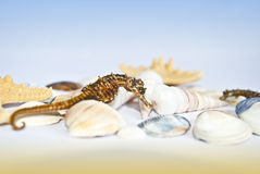 Seahorse with seashells and seastars. Seahorse on sea shells with sea stars around Stock Photo