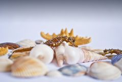 Seahorse with seashells and stars Royalty Free Stock Image
