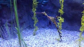 Seahorse Stock Image