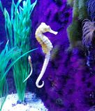 Seahorse. They swim upright propelling themselves by using the dorsal fin. The pectoral fins located on either side of the head are used for maneuvering. They Stock Photo