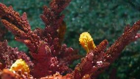 Seahorse under koraller i akvarium Gul seahorsesimning för Closeup nära underbara koraller i rent akvariumvatten lager videofilmer