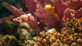 Seahorse under koraller i akvarium Gul seahorsesimning för Closeup nära underbara koraller i rent akvariumvatten arkivfilmer