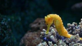 Seahorse under koraller i akvarium Gul seahorsesimning för Closeup nära underbara koraller i rent akvariumvatten stock video