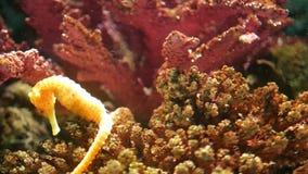 Seahorse under koraller i akvarium Gul seahorsesimning f?r Closeup n?ra underbara koraller i rent akvariumvatten arkivfilmer