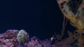 Seahorse under koraller i akvarium Gul seahorsesimning f?r Closeup n?ra underbara koraller i rent akvariumvatten stock video