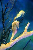 Seahorse Stock Photography