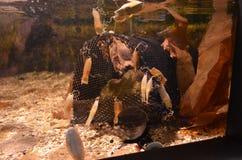 Seahorseeier in einem Behälter Stockfoto