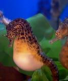 seahorses Стоковое Изображение RF