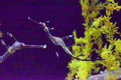 seahorses Стоковые Фотографии RF