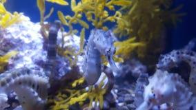 Seahorse royalty free stock image