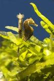 Seahorses on a background of algae Stock Image