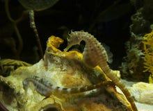 Seahorses i akvarium Arkivfoton