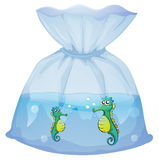 Seahorses inside the plastic pouch Stock Images