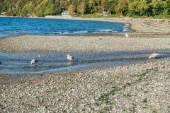 Seahurst Beach Seagulls stock photos