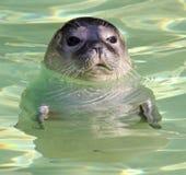 Seal 01 Royalty Free Stock Photos