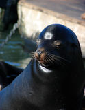 Seal. 's face Stock Images