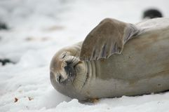 Seal. Resting on Brown Bluff, Antarctica Stock Photography