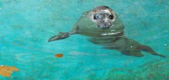 Free Seal Royalty Free Stock Photo - 12763905