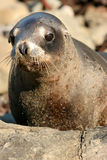 Seal. A New Zealand seal on the coast royalty free stock photography