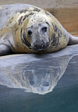 Seal Stock Photo