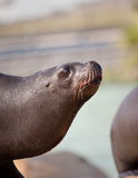 Seal. Standing outside the water Stock Image
