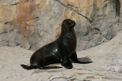Seal. Having a relaxing time in the sun Royalty Free Stock Images