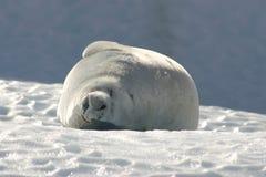Free SEAL 2 Stock Image - 3168391