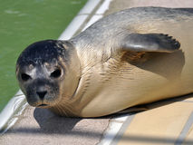 Seal Stock Image