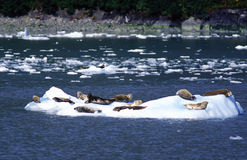 Seal. Lie on the ice flow Royalty Free Stock Photo