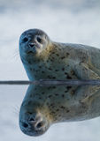 Seal. On on the shore side Stock Photography