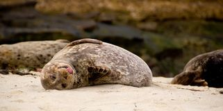 Seal Royalty Free Stock Images