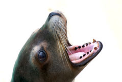 Seal. Close up with detail Stock Images