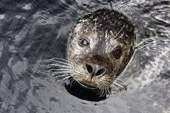Seal Royalty Free Stock Photo