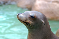 Seal. Close up of a seal with water background Royalty Free Stock Photo