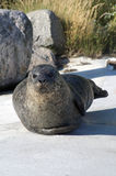 Seal. S lying on a big rock Royalty Free Stock Photo
