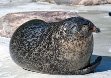 Seal. S lying on a big rock Royalty Free Stock Images