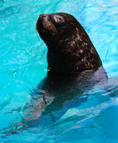 Seal. Normally lives in the temperature climates Stock Photography