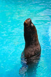 Seal. Normally lives in the temperature climates stock photo