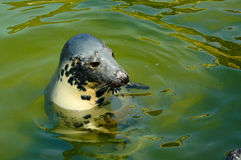 Seal. Play in  house in Poland Royalty Free Stock Photography