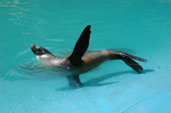 Seal. S are large marine mammals royalty free stock photography