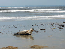 Seal. Resting On the Beach Royalty Free Stock Photo