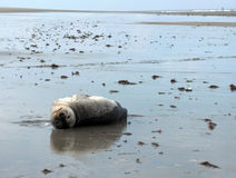 Seal. Lying Upside Down On the Beach Royalty Free Stock Photos
