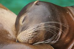 Seal. A , a dream, a pacification, calmness Stock Image